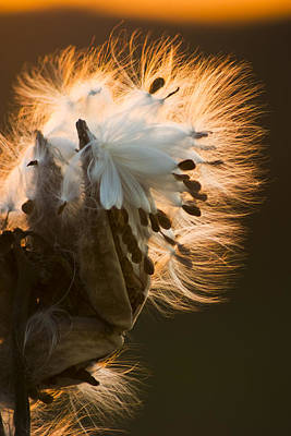 Abstract Flowers Photograph - Milkweed Seed Pod by Adam Romanowicz
