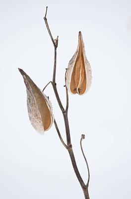 Photograph - Milkweed Seedpods by Bernard Lynch