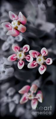 Photograph - Milkweed Snowflakes by Henry Kowalski