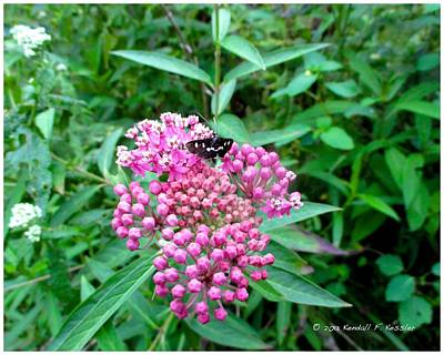 Photograph - Milkweed Visitor by Kendall Kessler