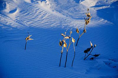 Milkweeds In The Snow Original by Dan  Meylor