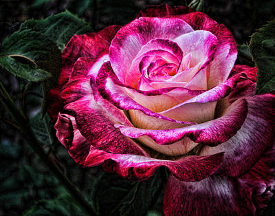 Photograph - Mill Creek Rose by Michael McGowan