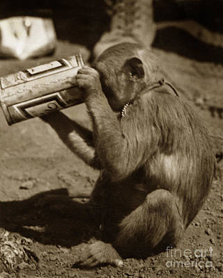 Photograph - Miller Time Monkey Friend Who Used To Drink With Us At Dak To 1968 by California Views Archives Mr Pat Hathaway Archives