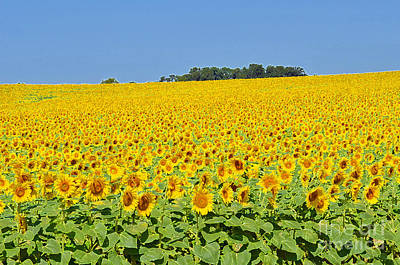 Millions Of Sunflowers Art Print