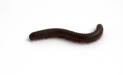 Photograph - Millipede  by Scott Sanders