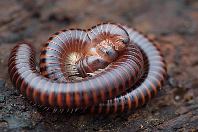Millipedes Mating Art Print by Melvyn Yeo