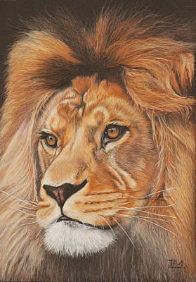 Endangered Drawing - Milo - The Barbary Lion by Jill Parry
