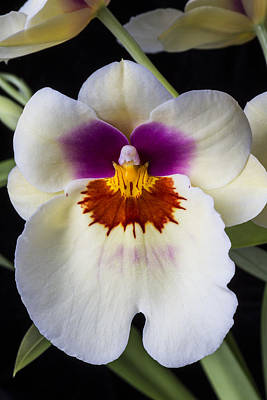 Pretty Orchid Photograph - Miltonia Orchid by Garry Gay