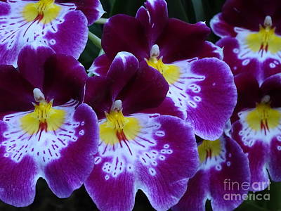 Modern Man Surf - Miltoniopsis Orchids 6 by Heather Jane