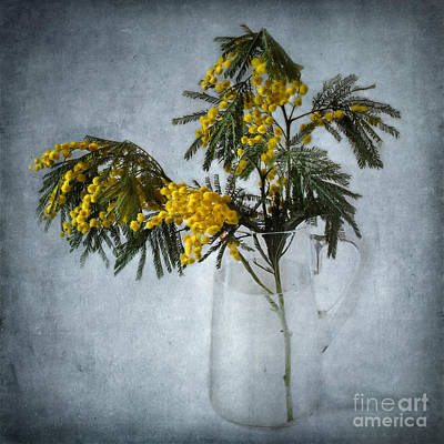 Photograph - Mimosa by Barbara Corvino