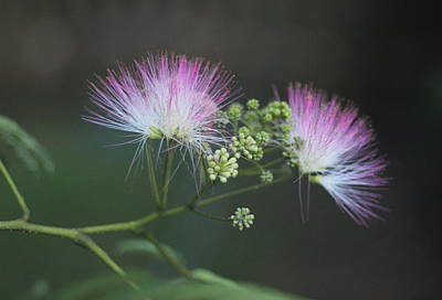 Mimosa Blooms Art Print by Cathy Lindsey