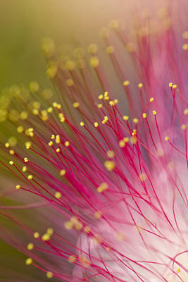 Photograph - Mimosa Blossom 3 by Dan Wells