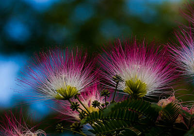 Photograph - Mimosa Blossoms by Haren Images- Kriss Haren