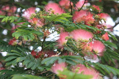 Photograph - Mimosa Dreams by Kathy Cornett