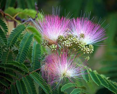 Photograph - Mimosa Flower by AJ  Schibig