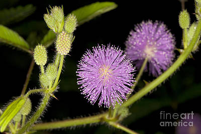 Mimosa Pudica  Print by Anthony Totah