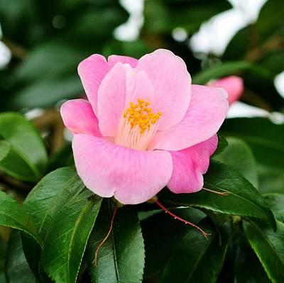 Camellia Photograph - Minato-no- Akebono by Karen Silvestri