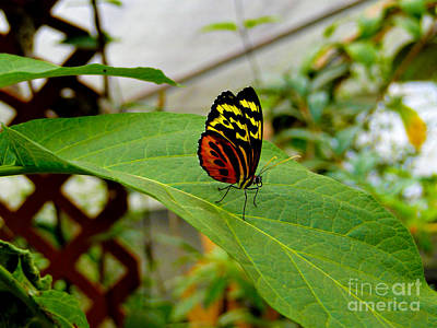 Mindo Butterfly Poses Art Print by Al Bourassa