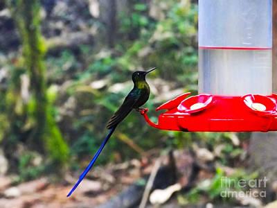 Long-tailed Sylph Photograph - Mindo Violet Sylph Hummingbird by Al Bourassa
