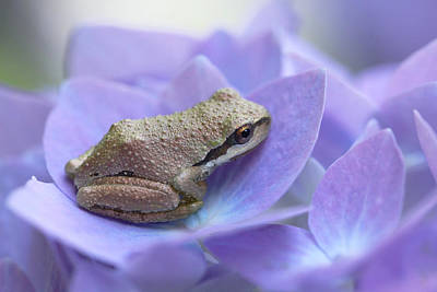 Mini Frog On Hydrangea Flower  Art Print by Jennie Marie Schell