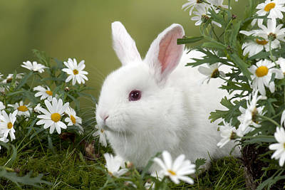 Photograph - Mini Ivory Satin Rabbit by John Daniels