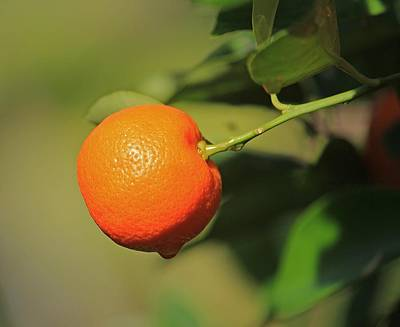 Photograph - Miniature Orange by Michael Saunders