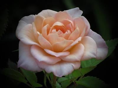 Photograph - Mini Rose by MTBobbins Photography