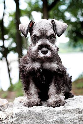 Miniature Schnauzer Photograph - Mini Schnauzer by Stephanie Frey