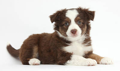 Photograph - Miniature American Shepherd Puppies by Mark Taylor