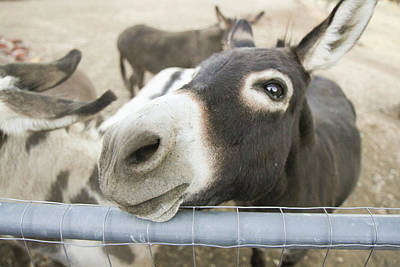Miniature Donkey Photograph - Miniature Donkeys On A Ranch by Susan Pease