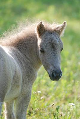 Photograph - Miniature Horse Filly by Amy Porter