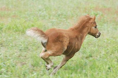 Photograph - Miniature Horse Filly At  Play by Amy Porter