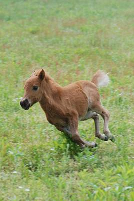 Photograph - Miniature Horse Filly Running by Amy Porter