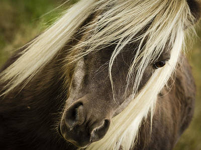 Photograph - Miniature Horse by Jean Noren