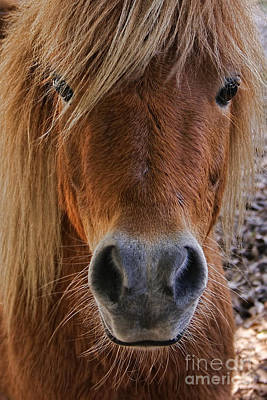 Photograph - Miniature Horse Portrait by Olga Hamilton
