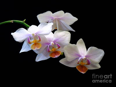 Photograph - Miniature Phalaenopsis Orchid Spray by Renee Trenholm