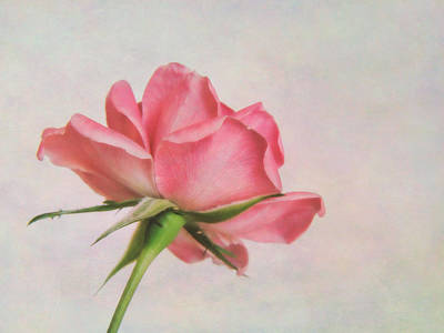 Photograph - Miniature Rose II by David and Carol Kelly