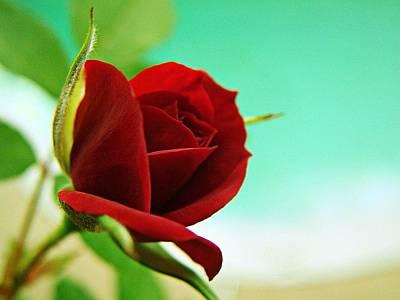 Miniature Rose Art Print by Kathy Churchman