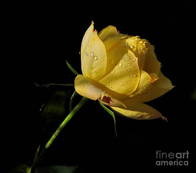 Photograph - Miniature Rose by Kaye Menner