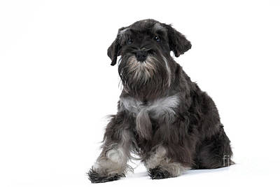 Miniature Schnauzer Puppy Art Print by Jean-Michel Labat