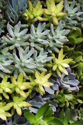 Sempervivum Painting - Miniature Succulent Plants 4 by Lanjee Chee