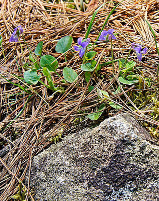 Heart Of Waterfalls Photograph - Miniature Wild Wood Violet - Dave's Falls - Amberg Wisconsin by Carol Toepke