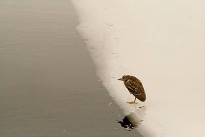 Photograph - Minimalist Night Heron by Kristia Adams