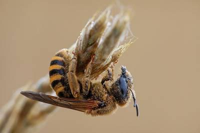 Hymenopteran Insect Photograph - Mining Bee by Heath Mcdonald