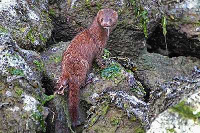 Photograph - Mink At Low Tide by Peggy Collins