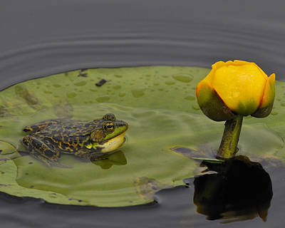 Photograph - Mink Frog On Lilypad  by Tony Beck