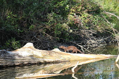 Photograph - Mink Walking On Log by Donna L Munro