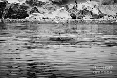 Fournier Photograph - Minke Whale Surfacing With Dorsal Fin In Fournier Bay Antarctica by Joe Fox