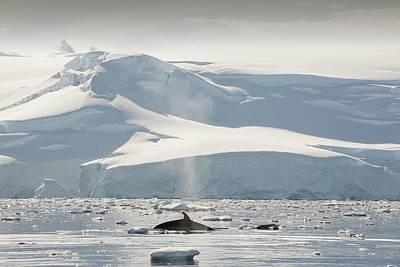 Minke Whales Art Print by Ashley Cooper
