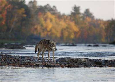 Photograph - Minnesota Gray Wolf by Daniel Behm